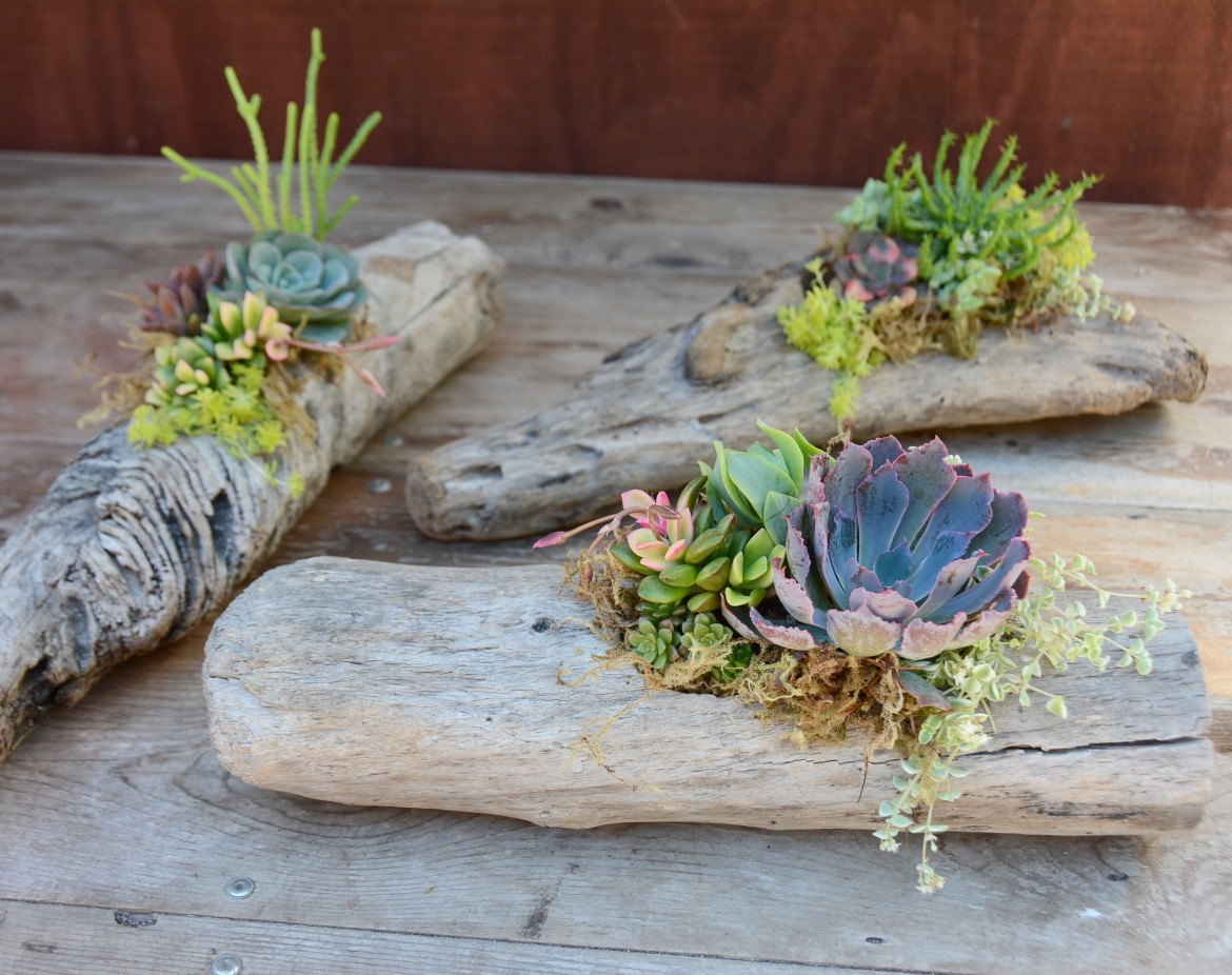 Culture Brewing Co Encinitas:  Succulent-Planted Driftwood
