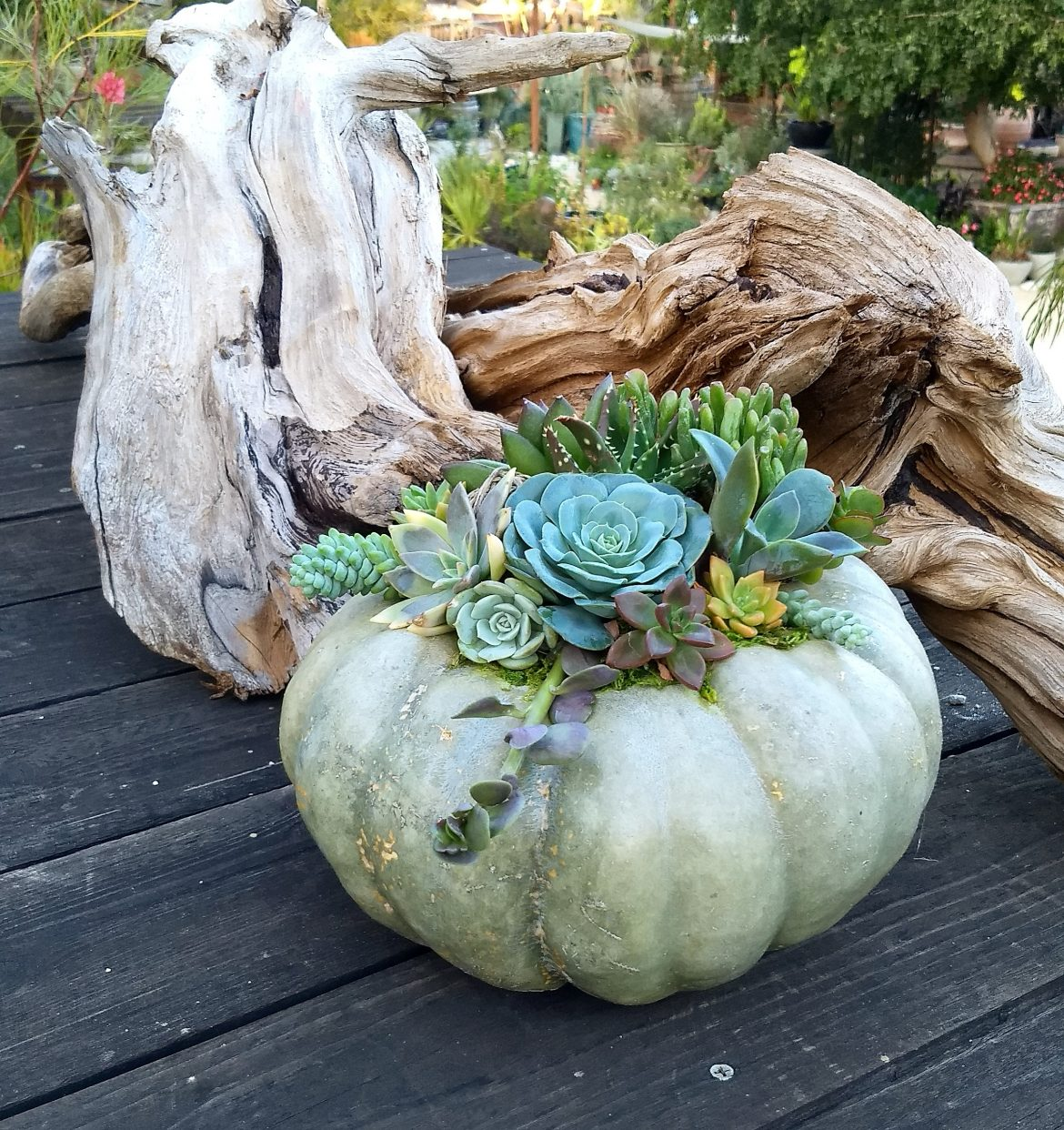 Succulent-Crowned Pumpkin Workshop